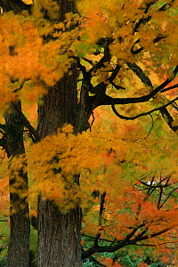 Autumn tree leaves abstract. Michigan USA. North America  -  Larry Michael