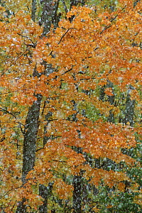 Autumn trees and snow abstract. Michigan USA  -  Larry Michael