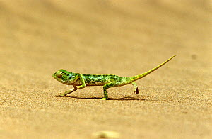 Flap necked chameleon cooling feet {Chamaeleo dilepis} on hot sand, South Africa  -  Grant McDowell