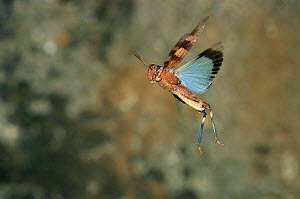 Blue winged grasshopper flying {Oedipoda caerulescens} Sardinia. Grasshoppers are capable of a mighty 1m long jump, the human equivalent of a football pitch in a single bound. They would win a gold me...  -  Dietmar Nill