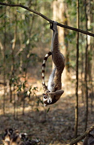 Ring tailed lemur {Lemur catta} hanging off a branch playing with tail, Madagascar  -  Bernard Walton