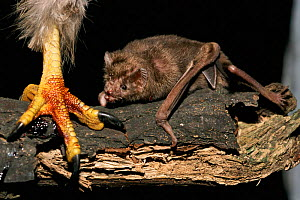 Common vampire bat {Desmodus rotundus} feeds off blood from bird's foot. Central America - Dietmar Nill