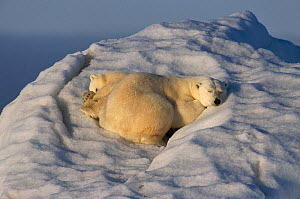 Polar bear and cub asleep on drifting iceberg, summer, Svalbard, Norway - Francois Savigny