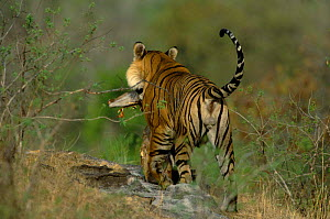Tiger male carrying Chital deer kill, Bandhavgarh NP, Madhya Pradesh, India - Francois Savigny