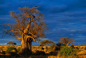 Tarangire NP at sunset with Baobab tree, Tanzania, Africa - Francois Savigny