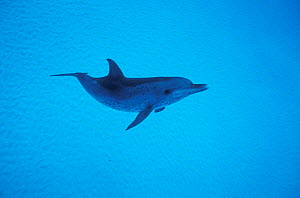 Atlantic spotted dolphin {Stenella frontalis} Bahamas  -  DOC WHITE