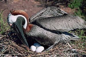 Brown pelican turning eggs in nest {Pelecanus occidentalis} Galapagos, South America  -  John Sparks