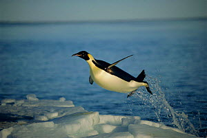 Emperor penguin flying out of water {Aptenodytes forsteri} Cape Washington, Antarctica.  -  Martha Holmes