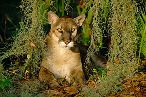 Florida panther portrait {Felix concolor} captive Florida, US  -  Lynn M Stone