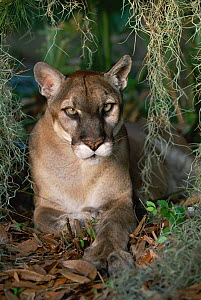 Florida panther portrait {Felix concolor} Florida, USA - Lynn M Stone