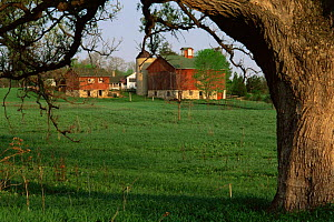Bur oak tree {Quercus macrocarpa} in farmland infront of barn and buildings, Wisconsin, USA  -  Larry Michael