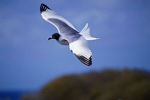 Swallow tailed gull in flight {Creagrus furcatus} Galapagos - Mike Read