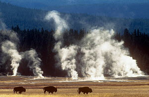 Landscape with Bison {Bison bison} and steam from geysers, Yellowstone NP, Wyoming, USA - Pete Cairns