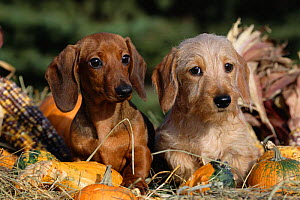 Dachshund dog puppies - smooth haired (left) and wire haired (right) - Lynn M Stone