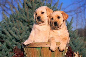 Golden Labrador retriever puppies {Canis familiaris} USA  -  Lynn M Stone