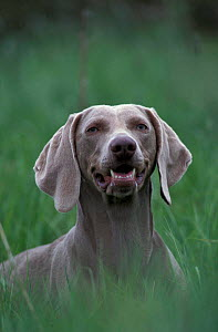 Weimaraner bitch head portrait {Canis familiaris} - Colin Seddon