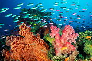 Coral landscape with soft corals and fish,  Fiji  -  Constantinos Petrinos