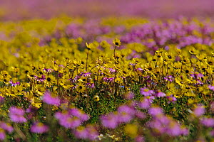 Daisies {Asteraceae} in bloom after rains. Nieuwoudtville, Namaqualand, South Africa  -  Patrick Morris