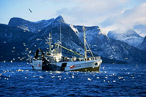 Fishing boat hauling in Herring catch, surrounded by seagulls, Tysfjord, Norway  -  Martha Holmes