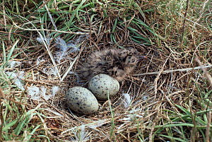 Audouin's gull newly hatched chick and  eggs in nest {Ichthyaetus audouinii} Delta del Ebro NP, Spain Catalonia  -  Juan Manuel Borrero
