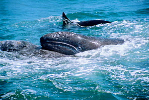 Grey whale mother tries to lift her calf as Killer whales (Orcinus orca) attack, Monterey, Pacific, California USA  -  Sue Flood