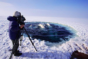 Cameraman Doug Allan films Beluga whales surfacing to breathe at ice hole {Delphinapterus leucas} Canadian arctic. On location for Blue Planet, 1999  -  Sue Flood