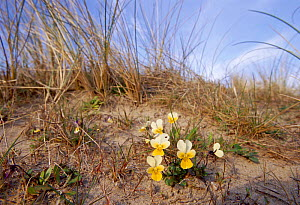 Wild pansy growing on sand dunes {Viola tricolor} Newborough Warren NNR, Anglesey, Wales, UK  -  DAVID TIPLING