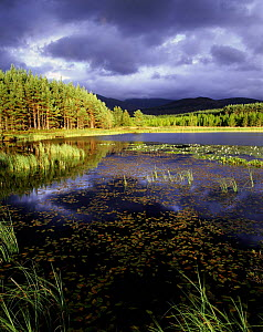 Lochan in pine forest with storm clouds, Strathspey, Highlands, Scotland, UK  -  Pete Cairns