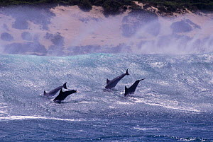 Bottlenose dolphins surfing {Tursiops truncatus} South Africa  -  TOM WALMSLEY