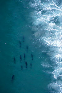 Aerial view of Bottlenose dolphins foraging behind surf line, Cape, South Africa {Tursiops truncatus}  -  TOM WALMSLEY