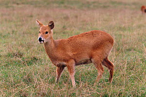 Male Chinese water deer {Hydropotes inermis} native to China  -  Rod Williams