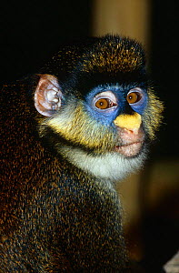 Female Schmidt's guenon {Cercopithecus ascanius schmidti} Captive, from Central Africa. (Subspcies of redtail monkey). - Rod Williams