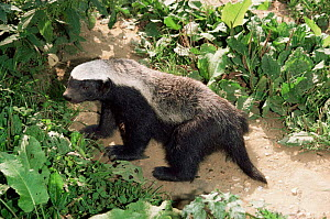 Ratel / Honey badger {Mellivora capensis}  captive, occurs in Africa, India & SW Asia, female  -  Rod Williams