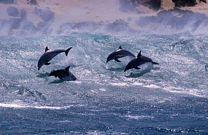Group of Bottlenose dolphins surfing in wave {Tursiops truncatus} South Africa  -  TOM WALMSLEY