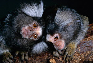 Young Common marmosets {Callithrix jacchus} native to north-east Brazil, S America  -  Rod Williams