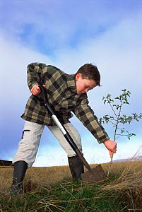 Boy planting Hawthorn tree Angus, Scotland, UK - Niall Benvie