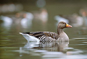 Greylag goose on water {Anser anser} Linlithgow, Scotland, UK  -  Niall Benvie