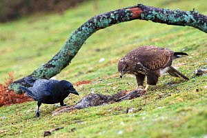 Common buzzard {Buteo buteo} and Raven {Corvus corax} share rabbit carcass. Wales, UK  -  Mike Read
