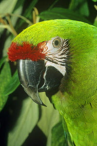 Female Military macaw head portrait {Ara militaris} captive, occurs in Central and South America  -  Rod Williams