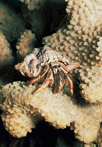 Land hermit crab on coral C {Coenobita clypeatus} West Indie - Rod Williams