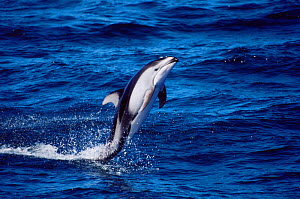 Pacific white sided dolphin tail walking {Lagenorhynchus obliquidens} Monterey Bay USA.  -  Todd Pusser