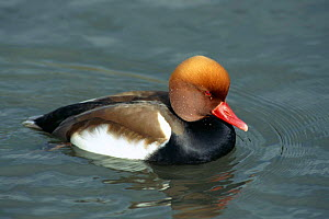 Red crested pochard duck male {Netta ruffina} Arundel, Sussex, UK - Mike Read