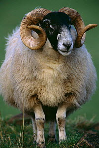 Scottish black-faced breed ram {Ovis aries} Scotland, UK - Colin Seddon