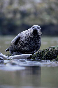 Common seal hauled out {Phoca vitulina} Islay, Argyll, Scotland  -  Niall Benvie