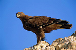 Steppe eagle, 1st winter {Aquila rapax nipalensis} Muscat, Oman, Middle East - Hanne & Jens Eriksen