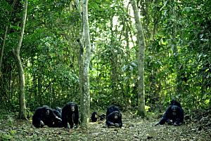 Group of Chimpanzees {Pan troglodytes} nut cracking in rainforest clearing, Guinea, West Africa  -  Bernard Walton