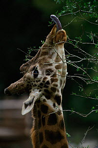 Rothchild's giraffe with tongue extended feeding on shrub, captive in zoo in cotland - Colin Seddon