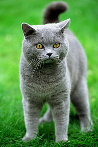 British shorthair blue cat {Felis catus} UK - Colin Seddon