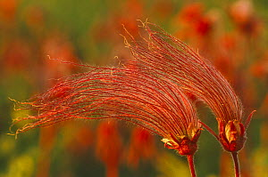 Prairie smoke seedheads {Geum triflorum} Wisconsin, USA  -  Larry Michael