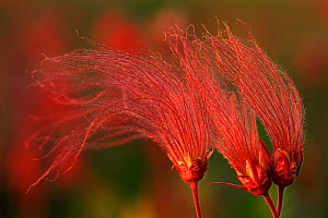 Prairie smoke seedheads {Geum triflorum} Wisconsin, USA, North America  -  Larry Michael